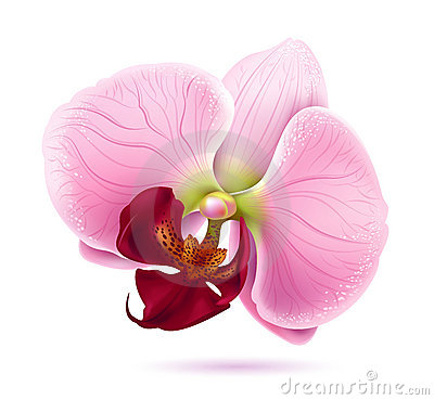 Beautiful Pink Orchid Vector Flower Royalty Free Stock Image.