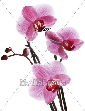 Stock Photo Pink Orchids Clipart.