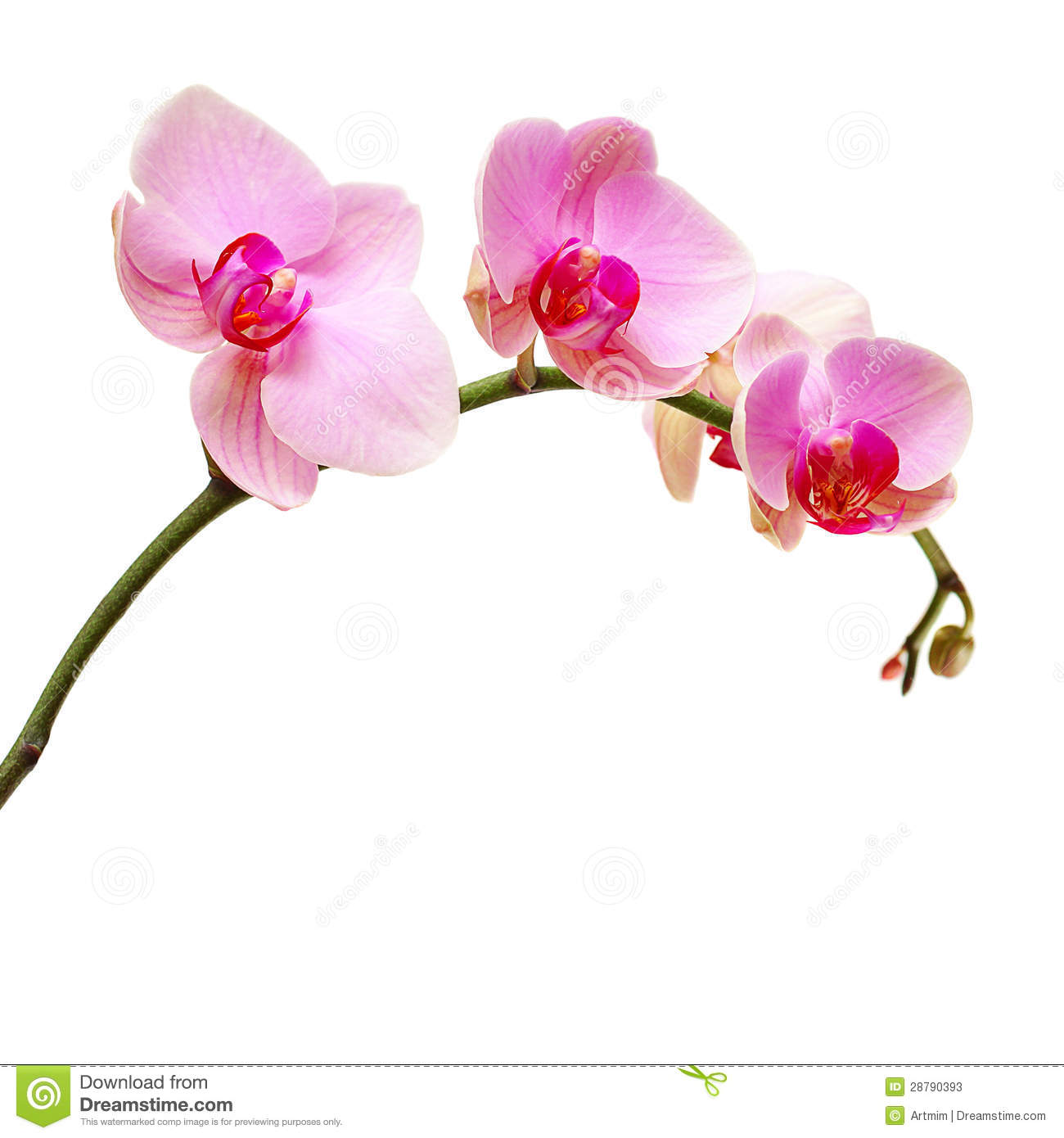 Pink Orchid Flower Stock Photos.