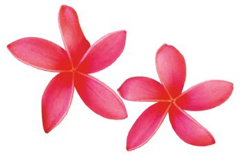 Pink Plumeria Clipart.