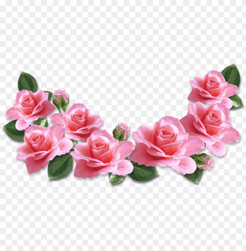 transparent pink rose.