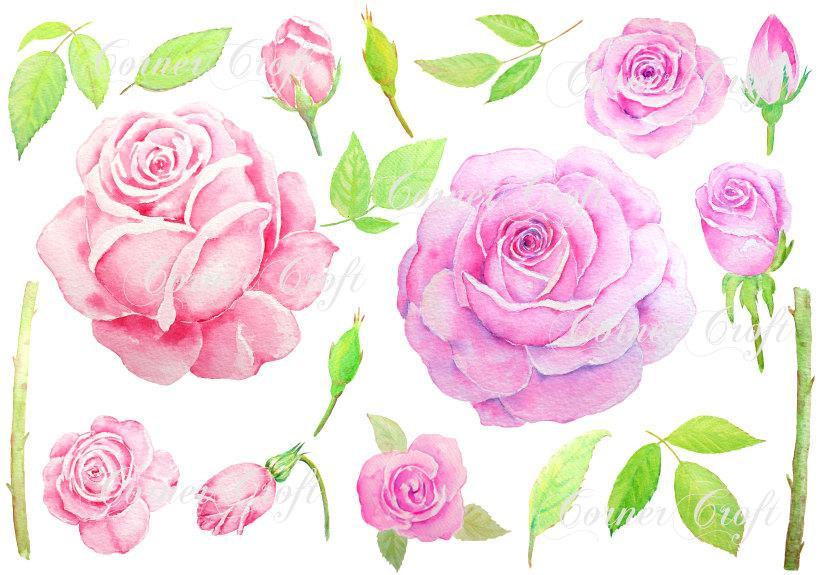 Watercolor clipart, pink rose, purple rose, botanical illustration.
