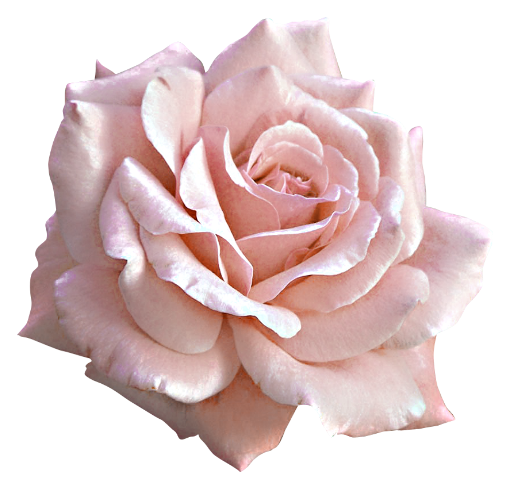 Pin by Linda Alter on Pink roses in 2019.