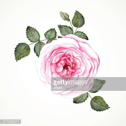 Pink tea rose Clipart Image.