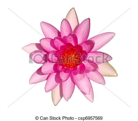 Pink Water Lily Clipart.