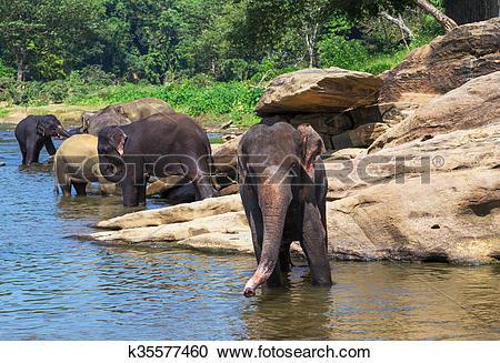 Stock Photography of Elephant Sri Lanka park Pinnawala k35577460.