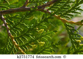 Pinophyta Stock Photo Images. 48 pinophyta royalty free pictures.