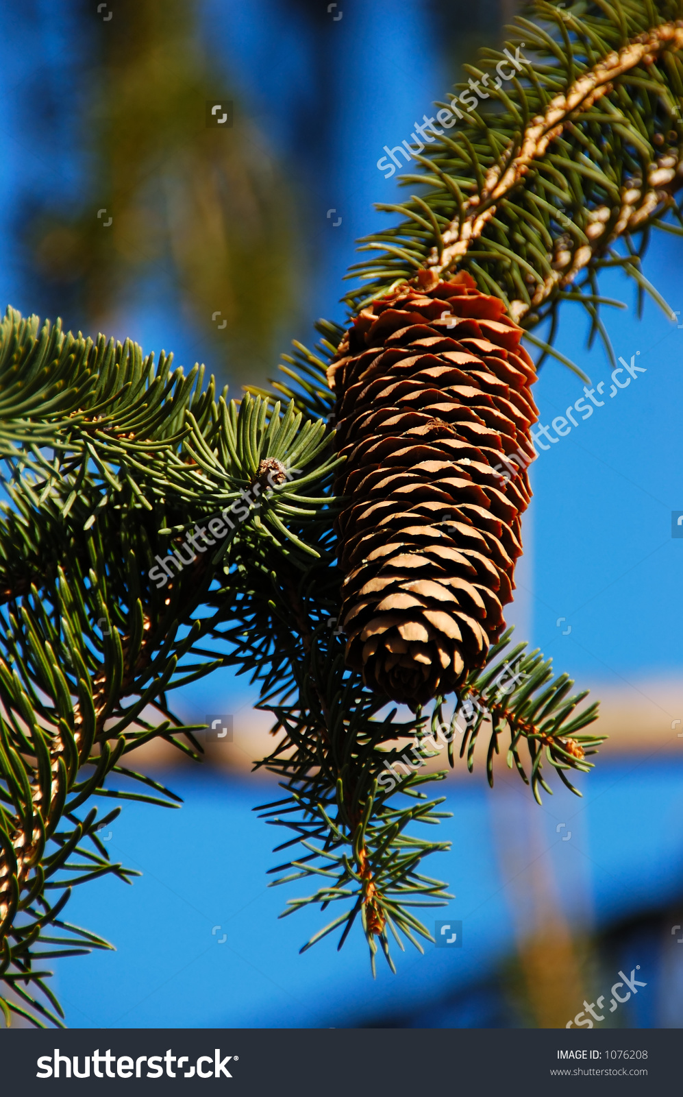 Pinecone On The Drooping Branches Of A Weeping White Pine.