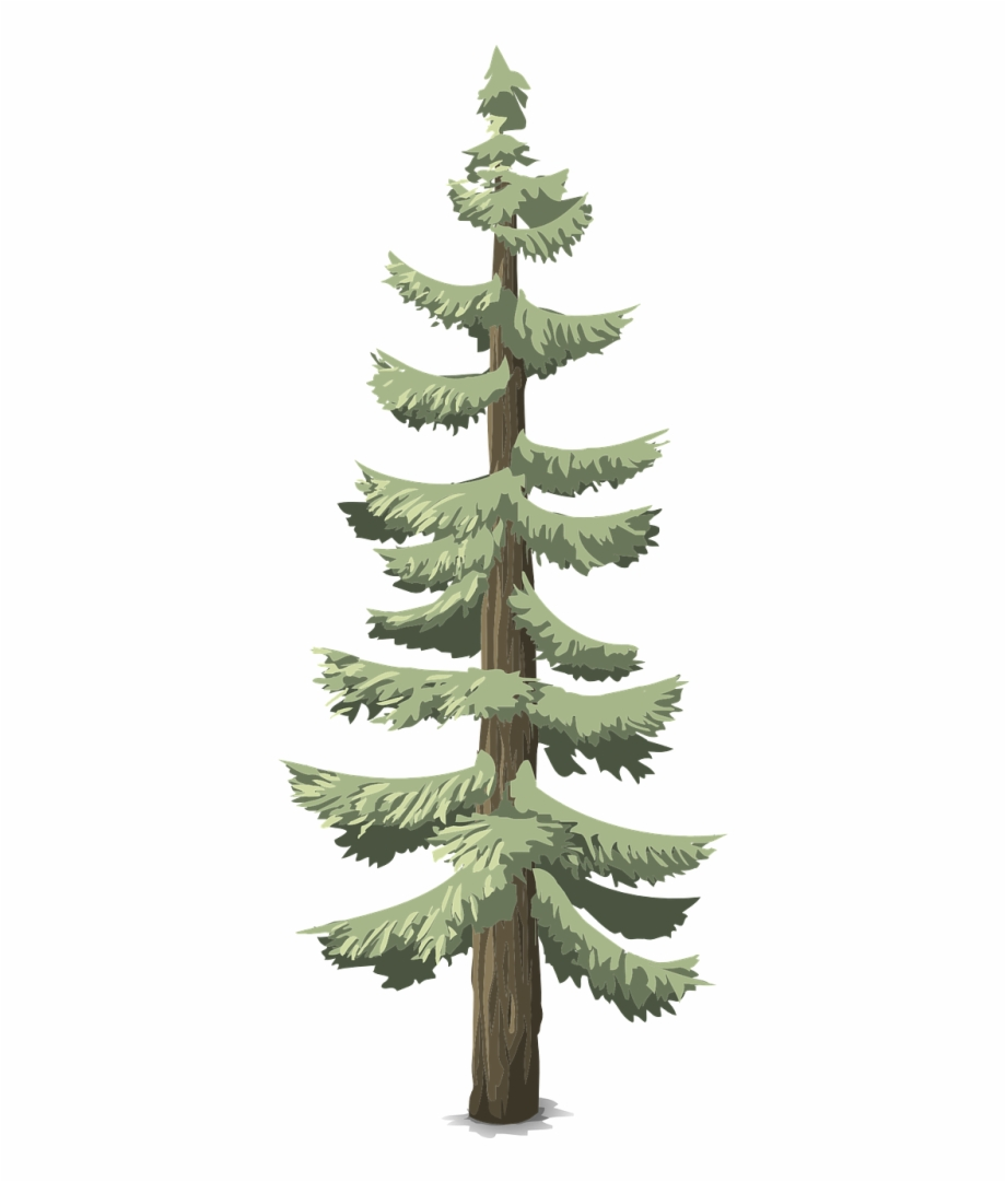Pinos Coniferas, Transparent Png Download For Free #4638301.