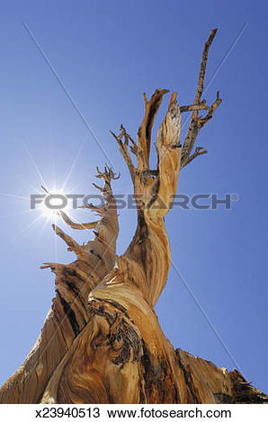 Stock Photo of Bristlecone pine tree (Pinus longaeva), low angle.