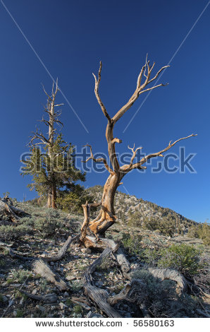 Bristlecone Pines Pinus Longaeva Our Planets Stock Photo 60372208.