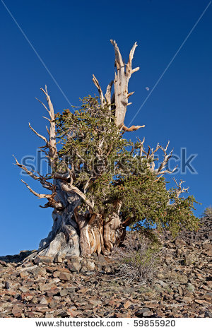 Bristlecone Pine Stock Photos, Royalty.