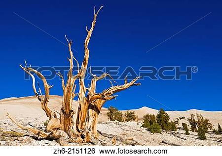 Stock Images of Ancient Bristlecone Pines (Pinus longaeva) in the.