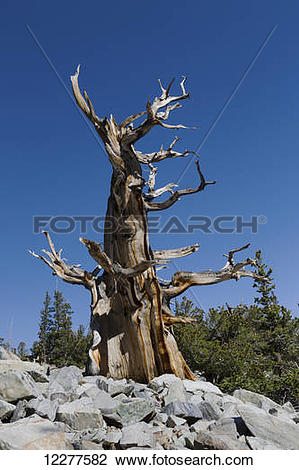 Stock Photo of Great Basin Bristlecone Pine (Pinus longaeva.