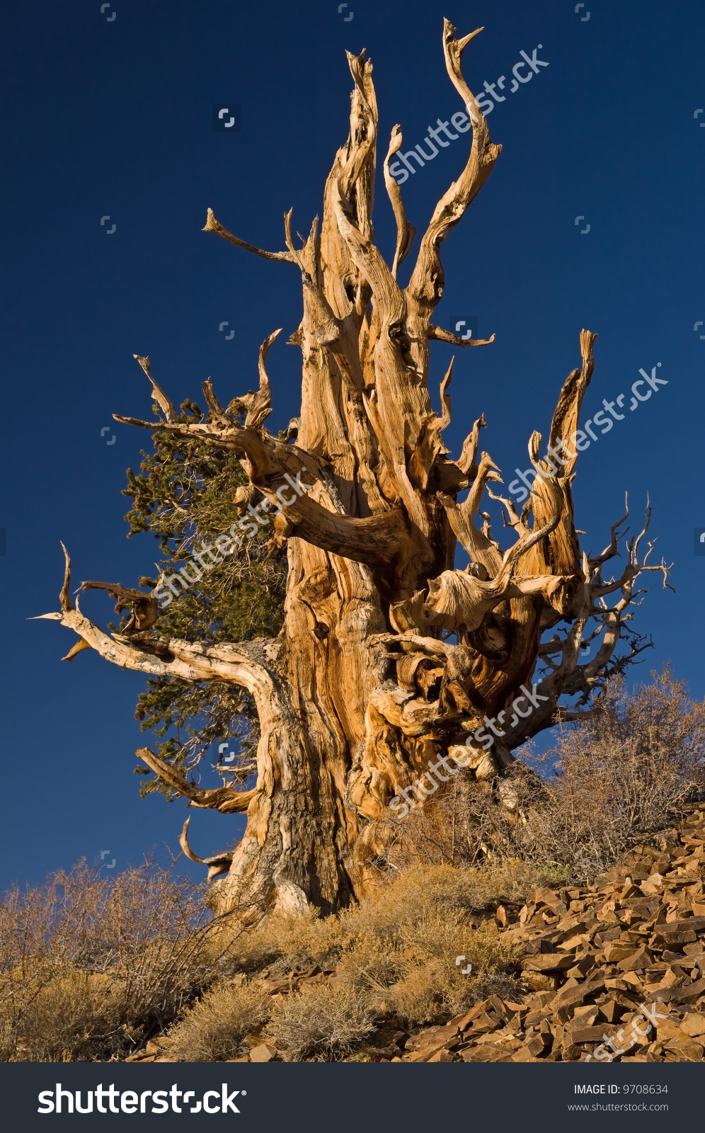 Bristlecone Pine (Pinus Longaeva), Our Planet'S Oldest Living.