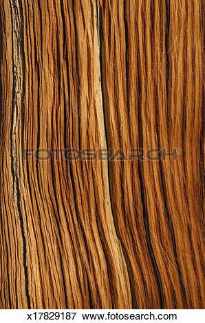 Picture of Cross section of bristlecone pine tree (Pinus longaeva.