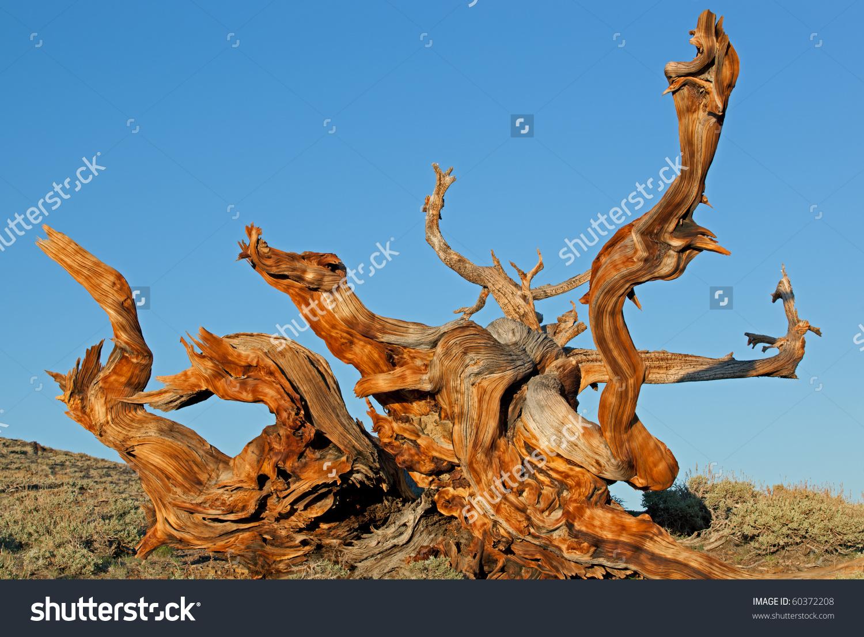Bristlecone Pines Pinus Longaeva Our Planets Stock Photo 60372208.