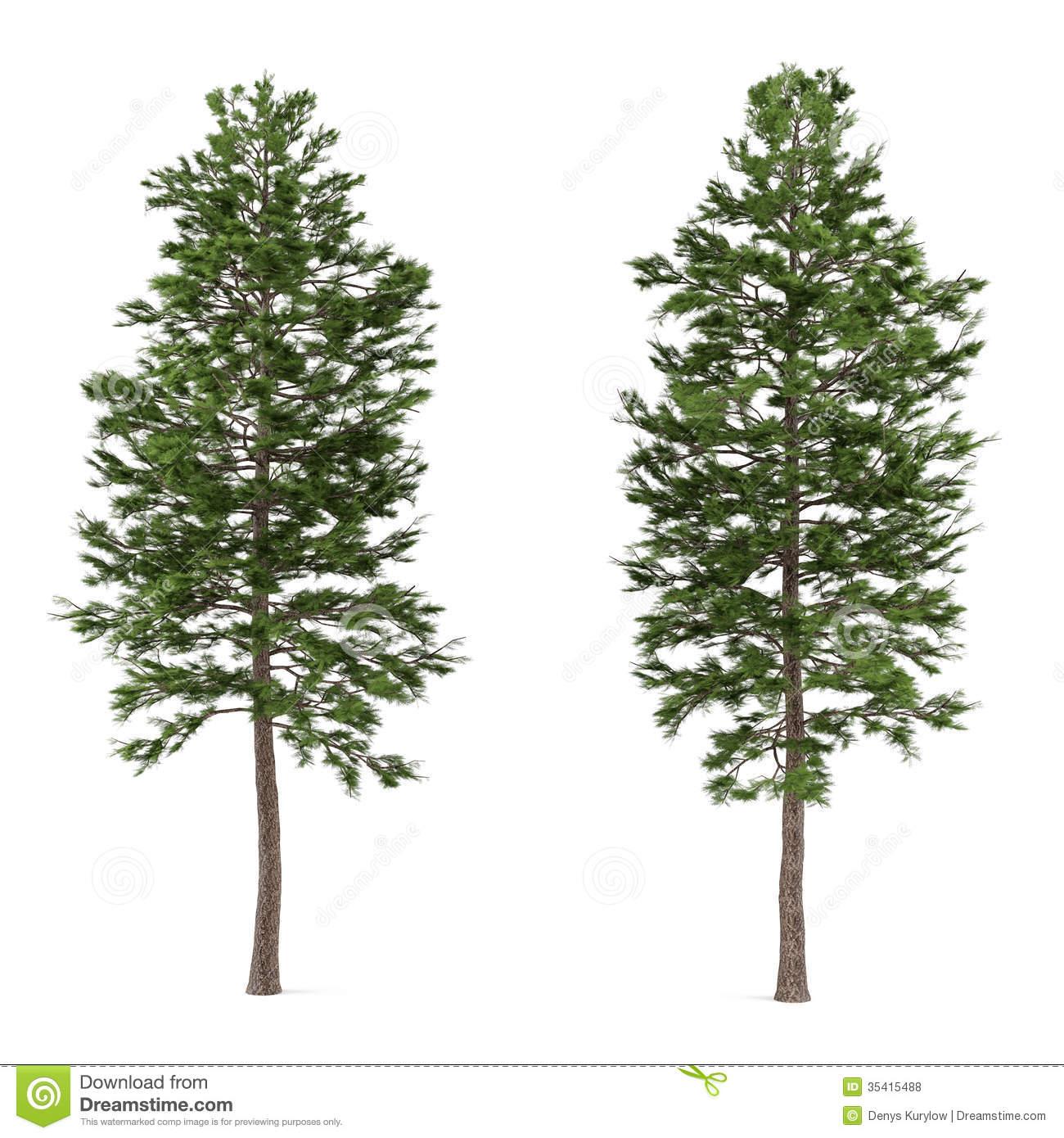 Pinus Stock Illustrations.