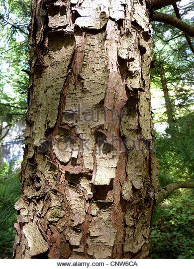 Korean Pine Trees Stock Photos & Korean Pine Trees Stock Images.