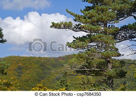 Stock Photography of Cedar pines 1.