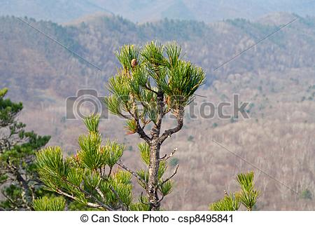 Stock Photography of Top of pine 4.