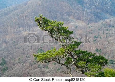 Stock Photography of Top of pine 8.