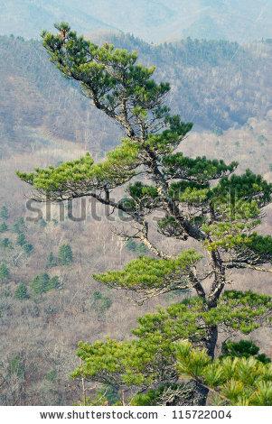 Pinus koraiensis Stock Photos, Images, & Pictures.