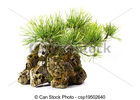 Stock Photo of Pinus Mugo with branches and leaves in the rock.
