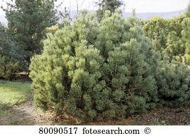 Pinus mugo Stock Photo Images. 126 pinus mugo royalty free.