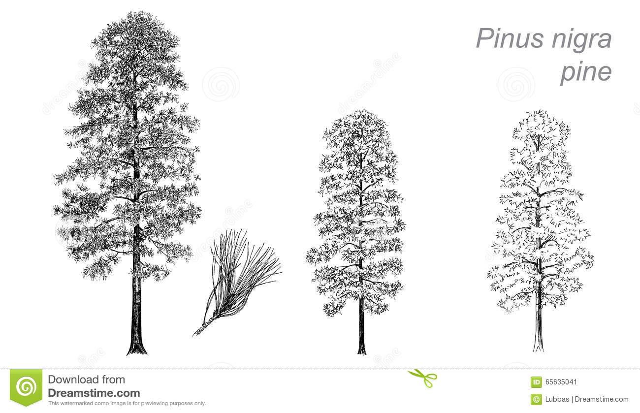 Vector Drawing Of Pine (Pinus Nigra) Stock Vector.