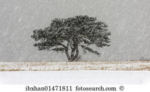 Pinus nigra Stock Photo Images. 89 pinus nigra royalty free images.
