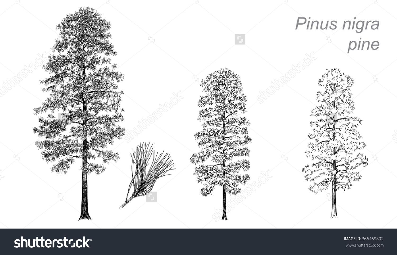 Vector Drawing Pine Pinus Nigra Detail Stock Vector 366469892.