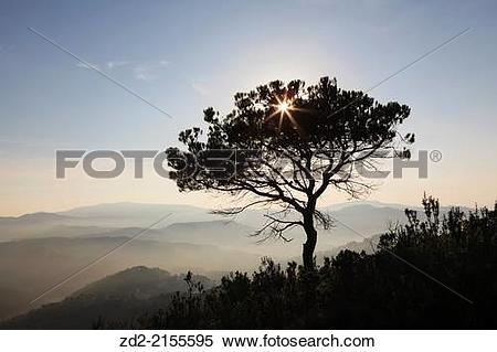 Stock Image of Black Pine (Pinus nigra). Sant Llorenc del Munt i.
