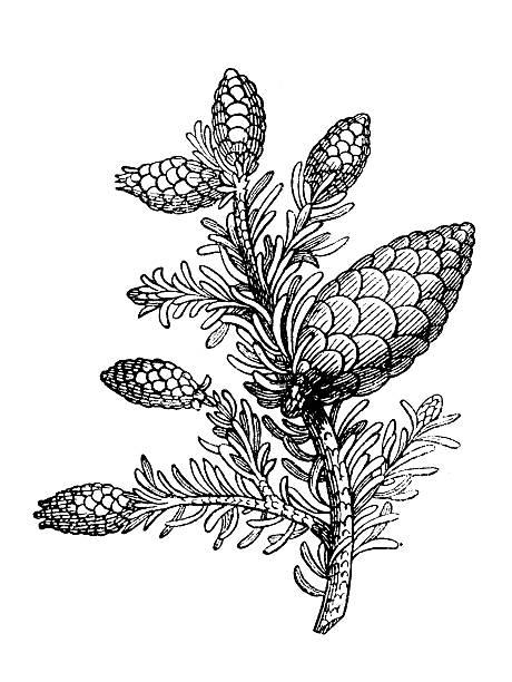 Pinus Nigra Clip Art, Vector Images & Illustrations.