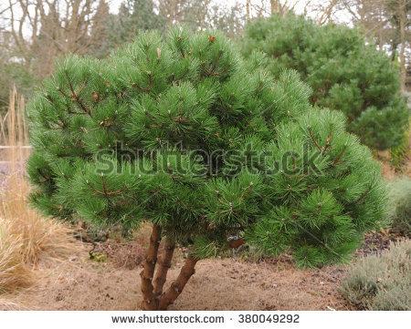 Pinus Nigra Stock Photos, Royalty.