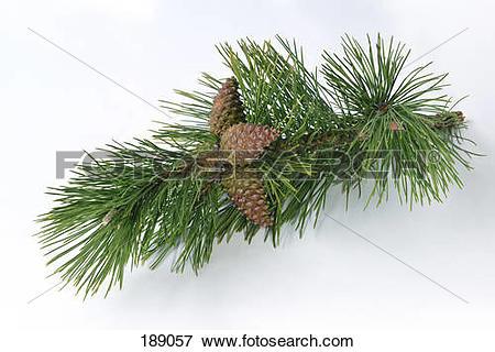 Picture of Austrian Pine, Black Pine, Corsican Pine (Pinus nigra.