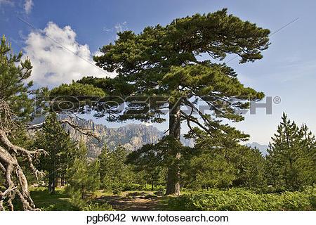 Stock Photo of Laricio pine, pinus nigra var. Calabrica, at.