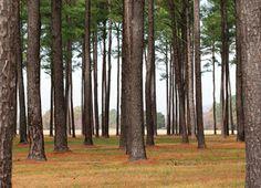 Pine Cone of Shortleaf Pine.
