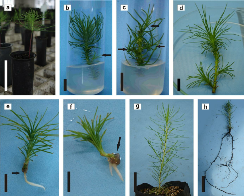 Micropropagation of Pinus taeda L. by axillary buds. ( a) Two.