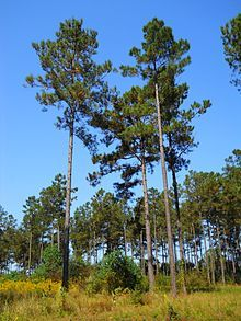 Pinus taeda, commonly known as loblolly pine, is one of several.