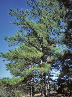 Loblolly Pine.