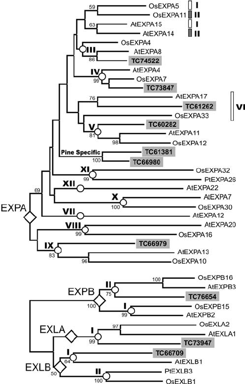 Phylogenetic trees of Pinus taeda L. expansins and angiosperm.