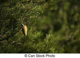 Stock Illustration of Loblolly pine or Pinus taeda.