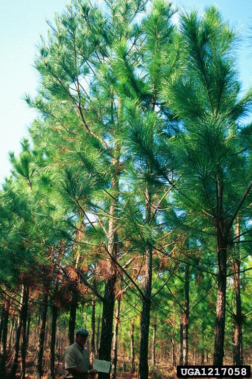 loblolly pine, Pinus taeda (Pinales: Pinaceae).