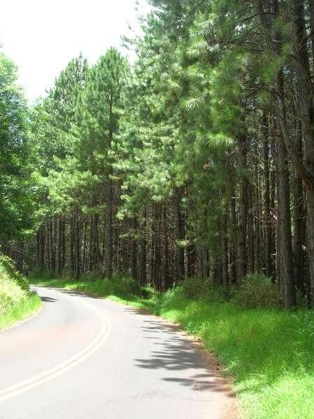 Pinus taeda L..