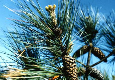 Pinus_taeda.399x279.jpg.