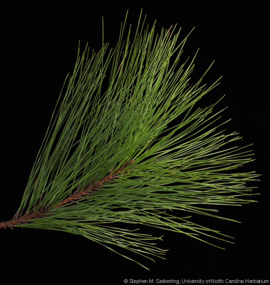 Common Trees of the North Carolina Piedmont.