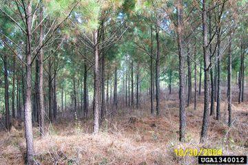 Pinus taeda.