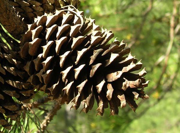 Pinus taeda (loblolly pine) description.