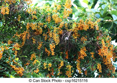 Stock Photography of Black Pepper Plant.